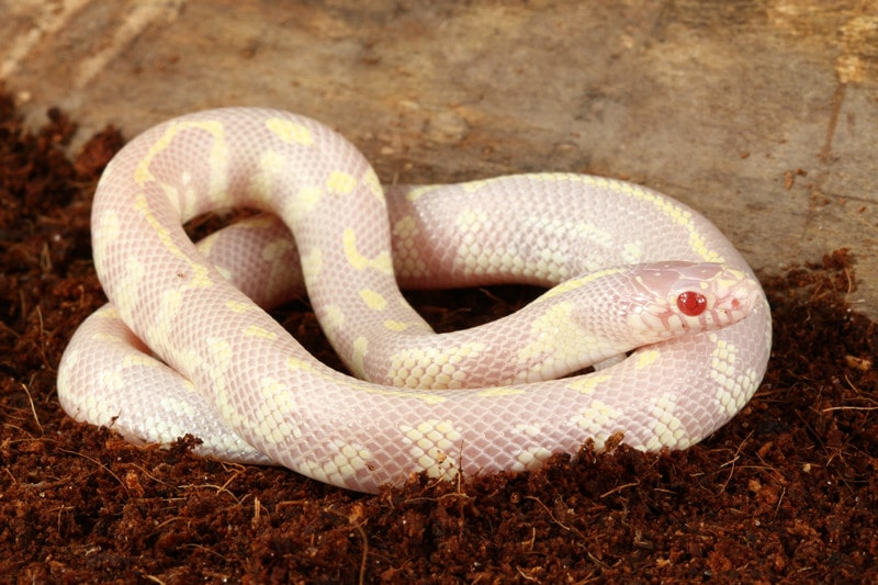 13 Cool California Kingsnake Morphs With Pictures