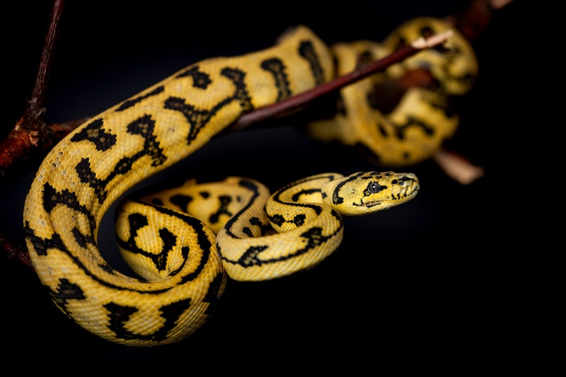 15 Cool Carpet Python Morphs With Pictures