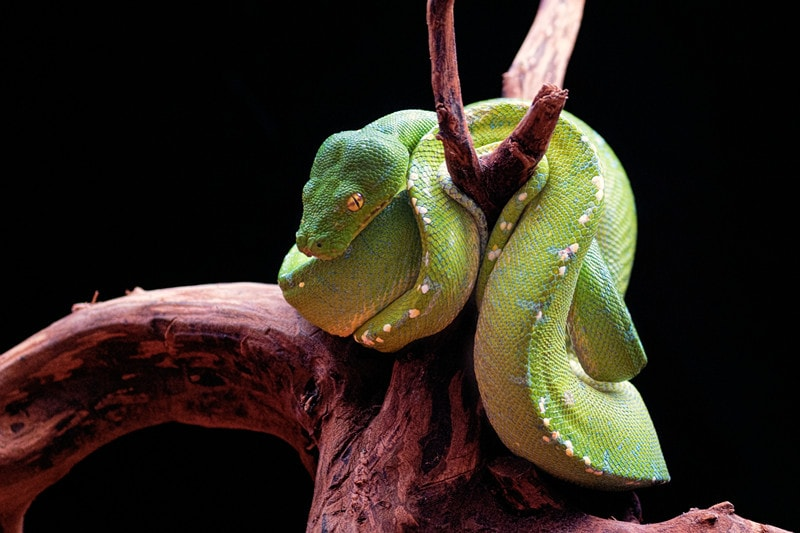 15 Cool Green Tree Python Morphs With Pictures