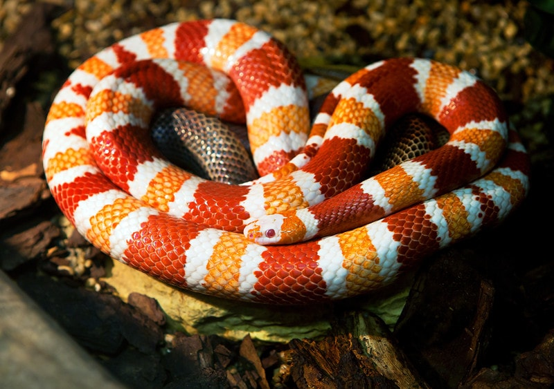 15 Cool Milk Snake Morphs With Pictures