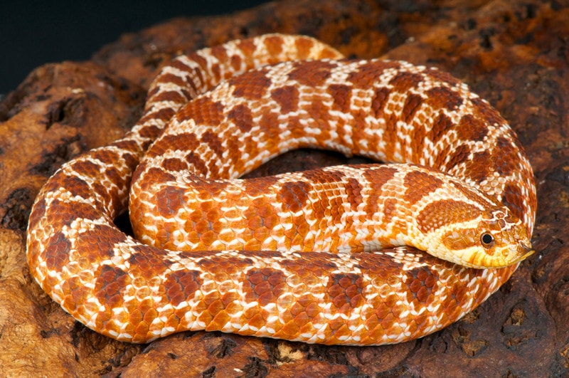 18 Cool Hognose Snake Morphs With Pictures