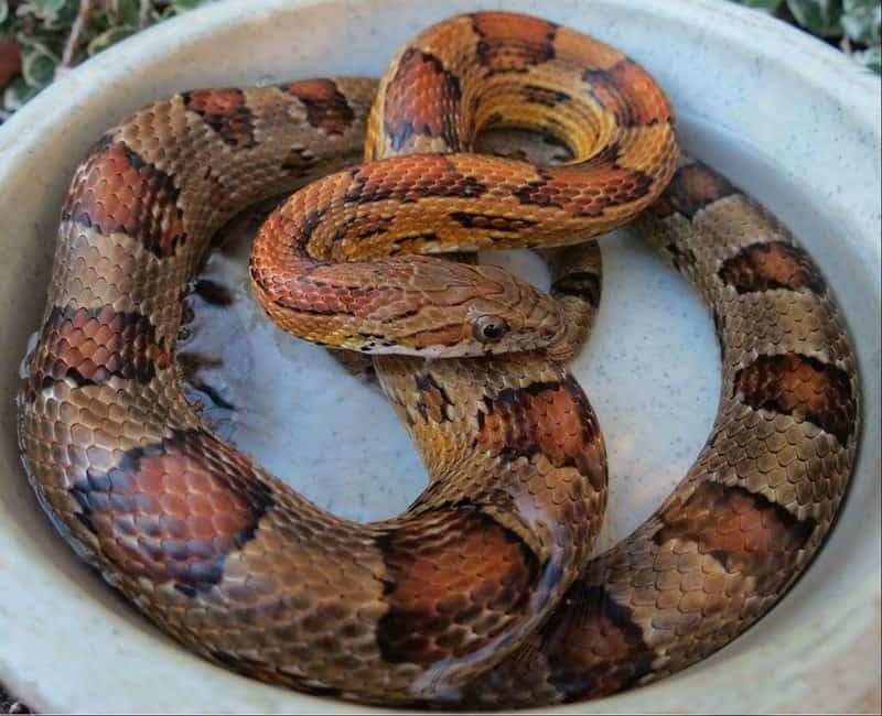 Alabama Corn Snake