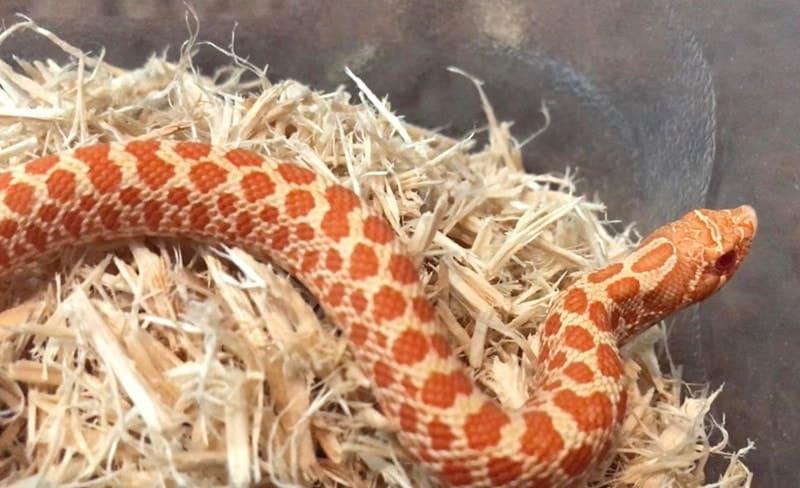 Albino Hognose Snake