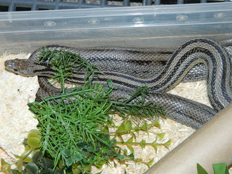 Anery Stripe Corn Snake