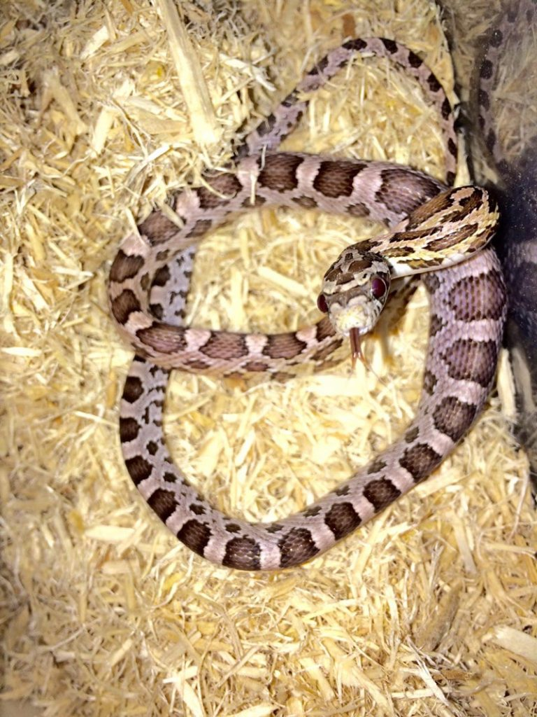 Anerythristic (Anery) Corn Snake