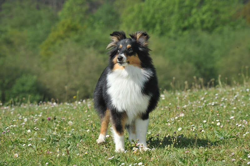 Are Shetland Sheepdogs Hypoallergenic