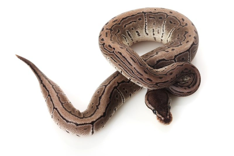 Axanthic Ball Pythons-Everything You Need to Know