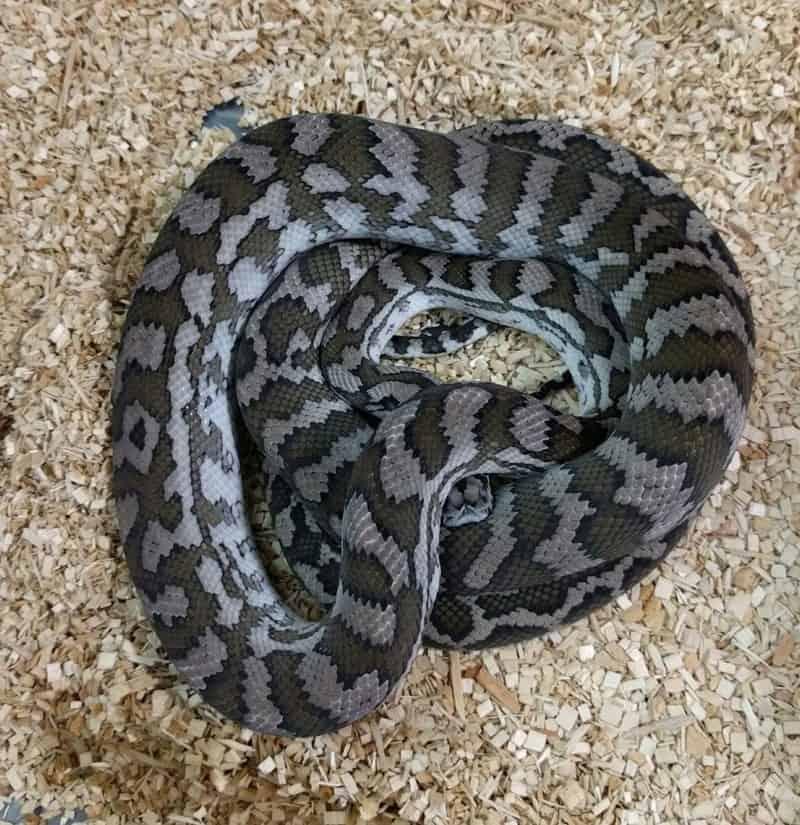 Axanthic Coastal Carpet Python