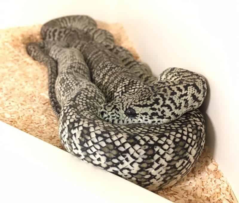 Axanthic Granite Carpet Python
