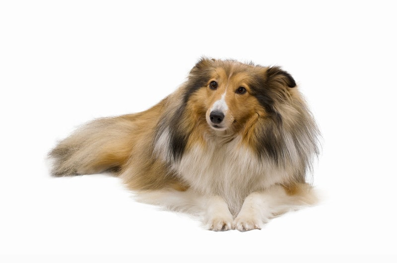 Best Age to Spay/Neuter a Shetland Sheepdog