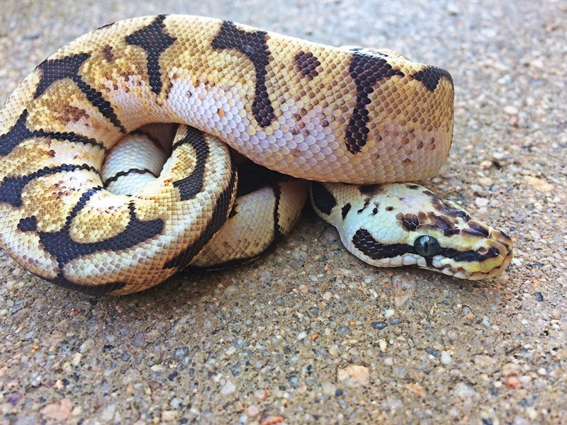 Bumblebee Ball Pythons: Everything You Need to Know