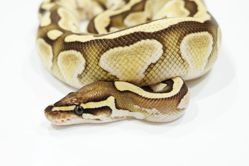 Butter Ball Pythons-Everything You Need to Know