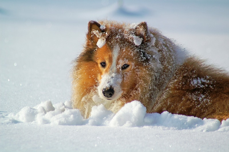 Can Shetland Sheepdogs Stay Outside in the Cold
