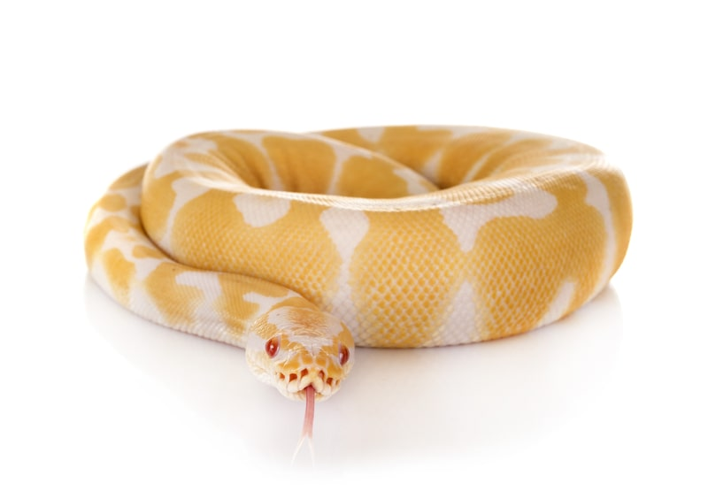 Candino Ball Pythons- Everything You Need to Know