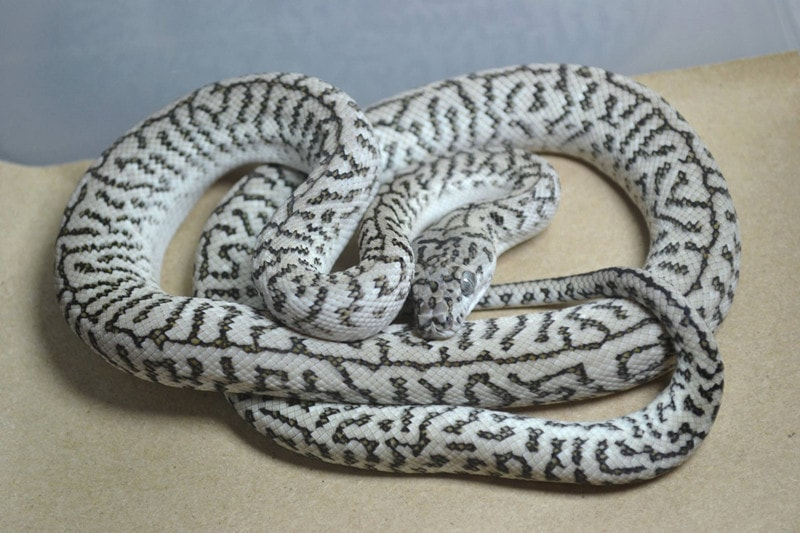 Caramel Axanthic Zebra Jaguar Carpet Python