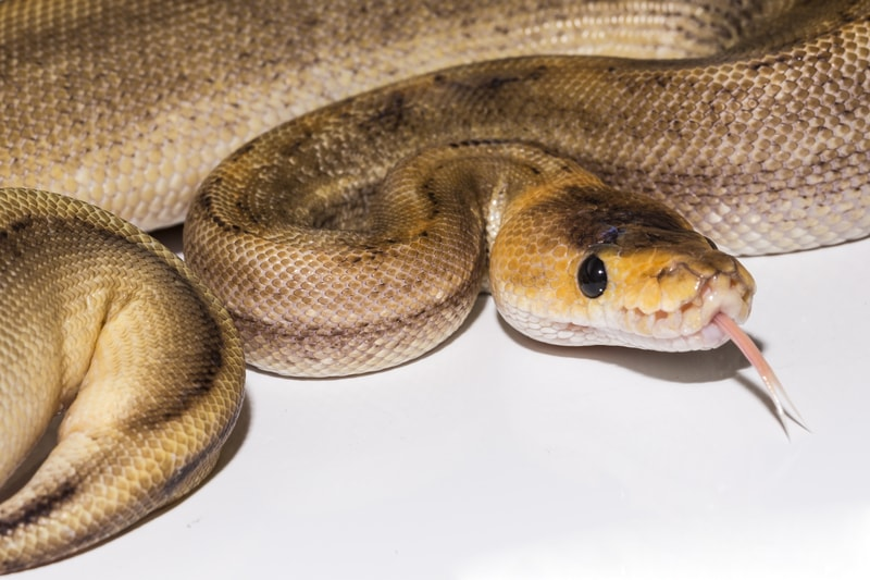 Champagne Ball Pythons-Everything You Need to Know