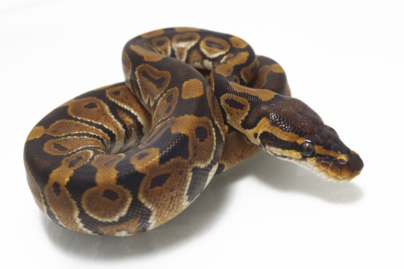 Cinnamon Ball Pythons-Everything You Need to Know
