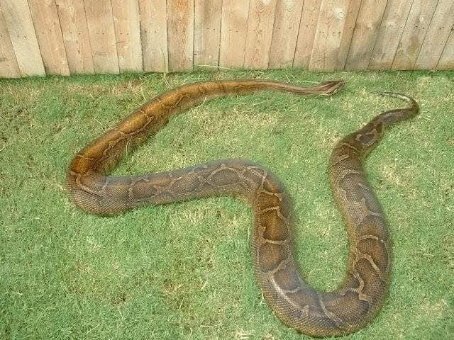 Fader Burmese Python