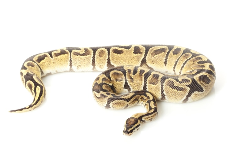 Fire Ball Pythons-Everything You Need to Know