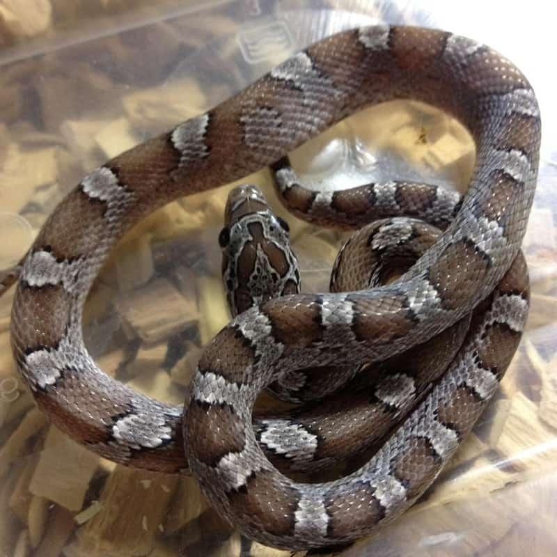 Granite Corn Snake
