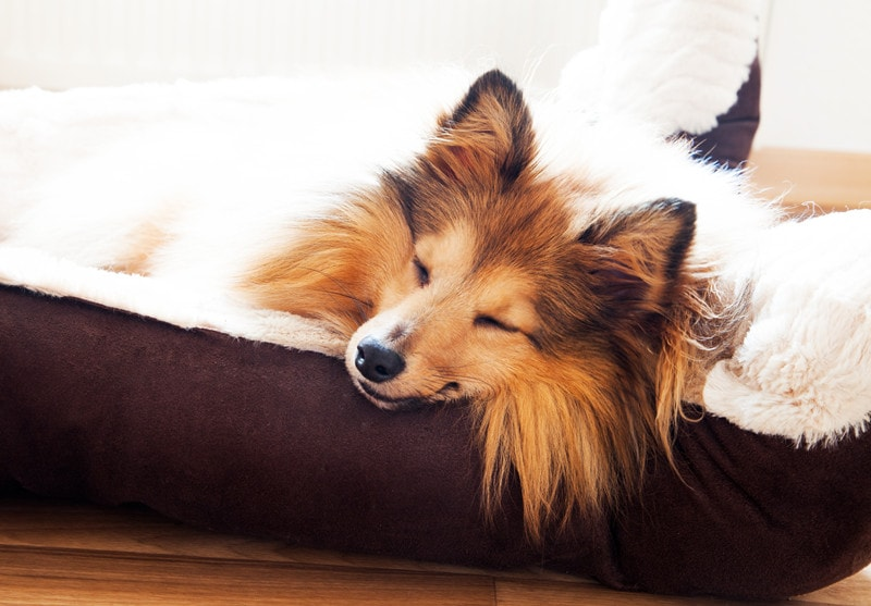 How Much Sleep Should a Shetland Sheepdog Have