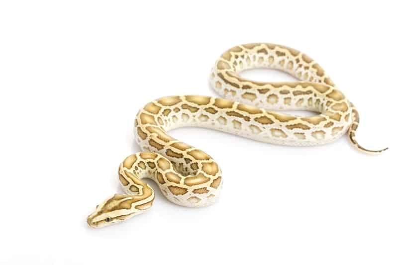 Hypo Burmese Python