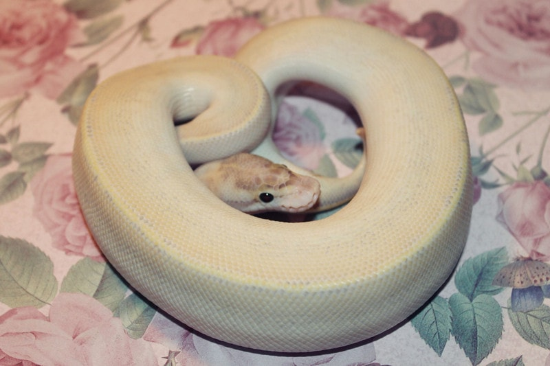 Ivory Ball Pythons-Everything You Need to Know