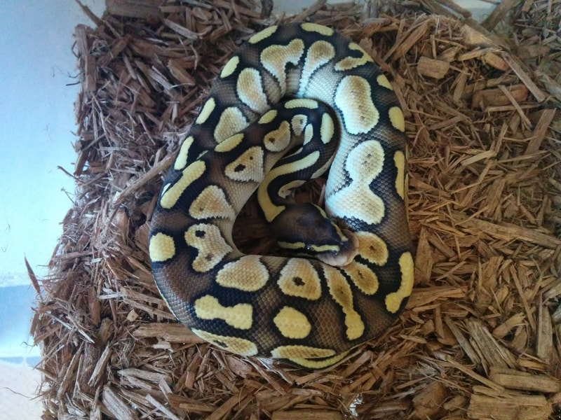 Lesser Ball Pythons-Everything You Need to Know