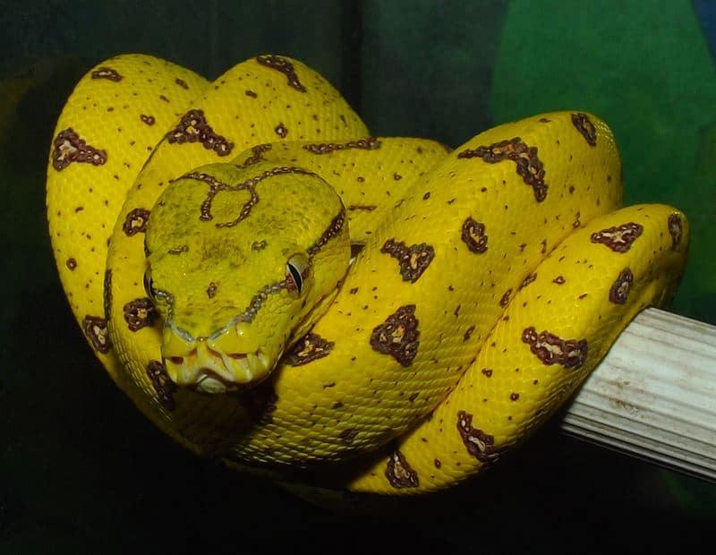 Merauke Green Tree Python