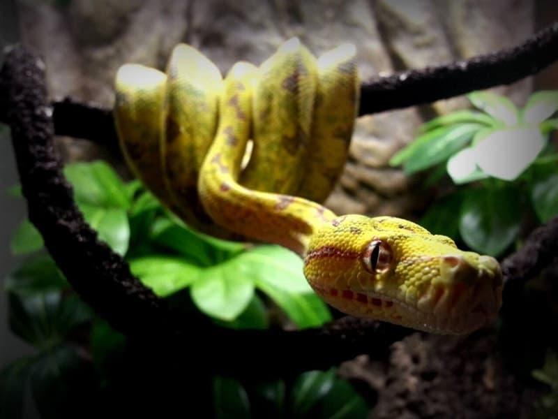 Misol Green Tree Python
