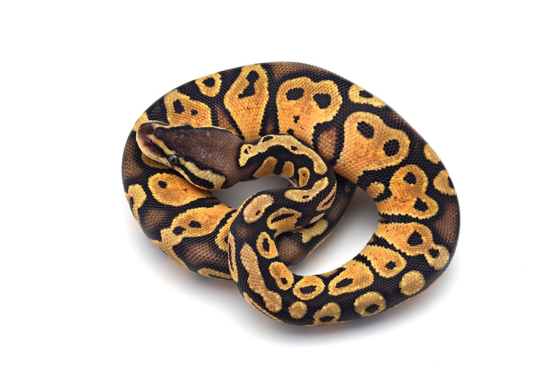 Pastel Ball Pythons-Everything You Need to Know