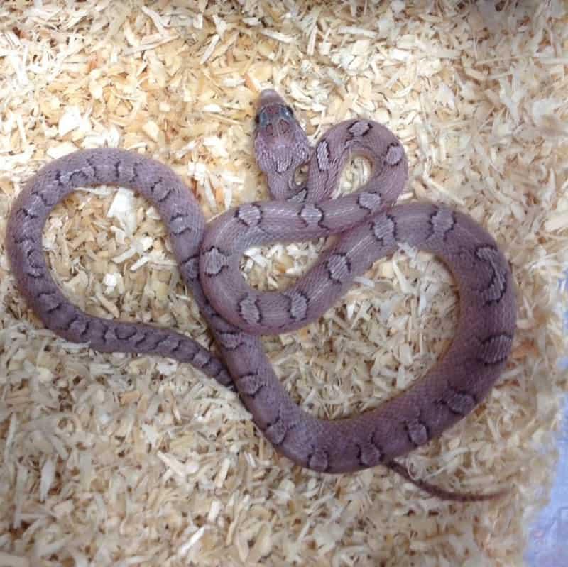 Pewter Corn Snake