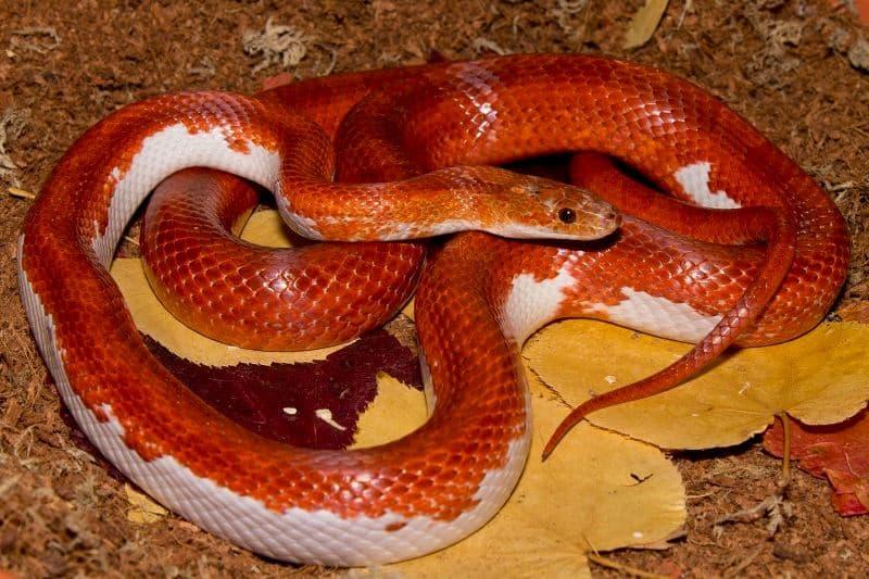 Pied Corn Snake