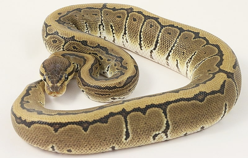 Pinstripe Ball Pythons- Everything You Need to Know