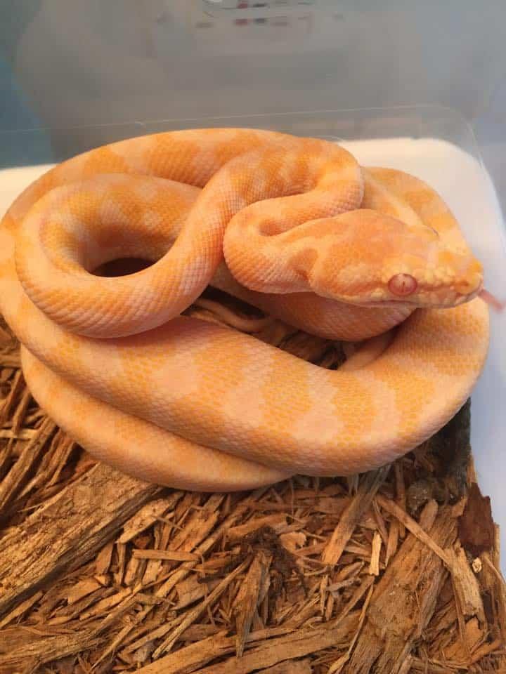 Pure Darwin Albino Carpet Python