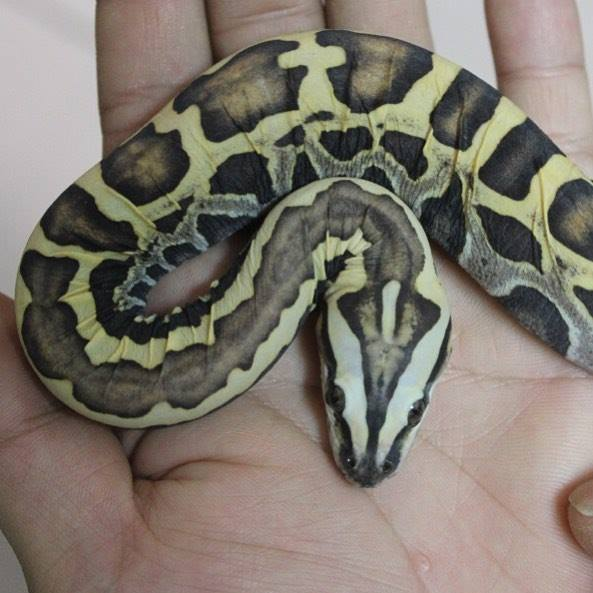 Scaleless Burmese Python