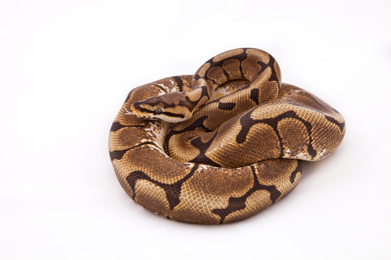 Spider Ball Pythons: Everything You Need to Know