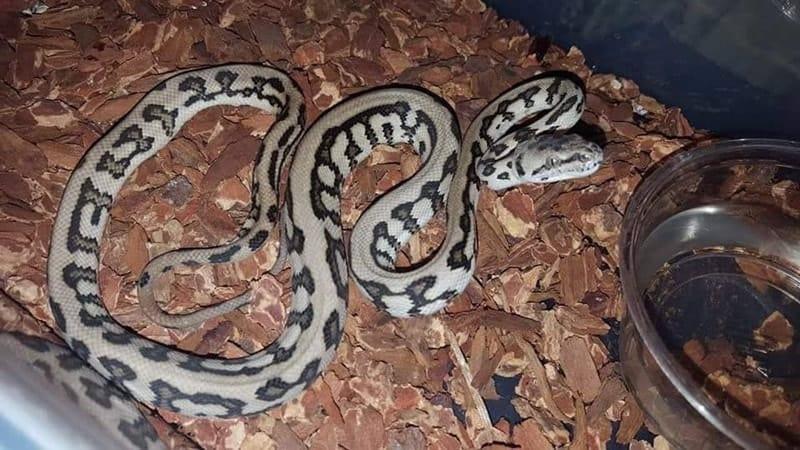 Tiger Carpet Python