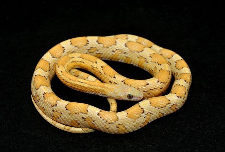 Topaz Corn Snake