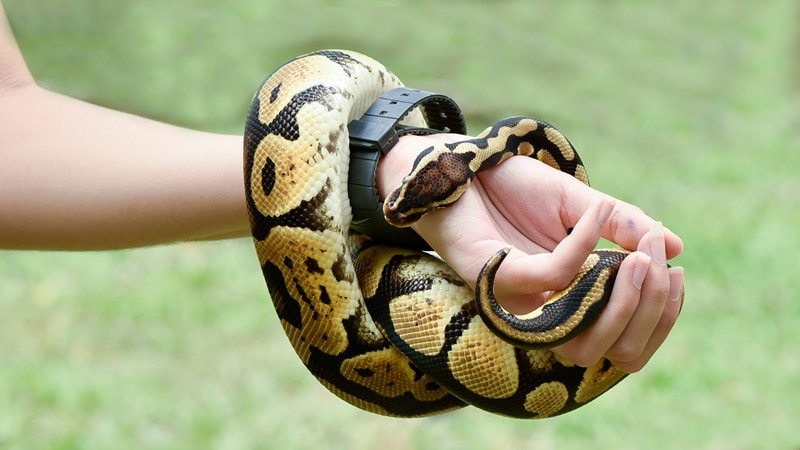 Vanilla Ball Pythons-Everything You Need to Know