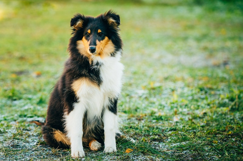What Are Shetland Sheepdogs Bred For