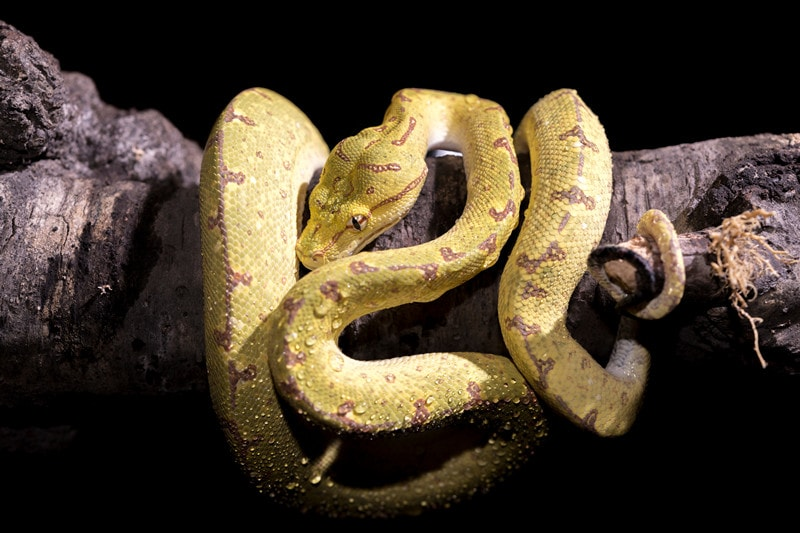 What Do Baby Green Tree Pythons Look Like