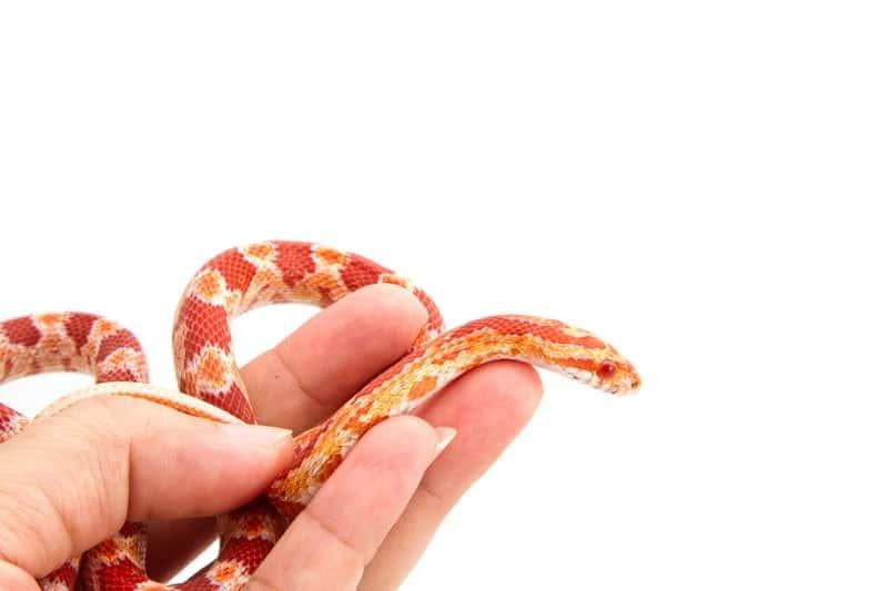 albino corn snake