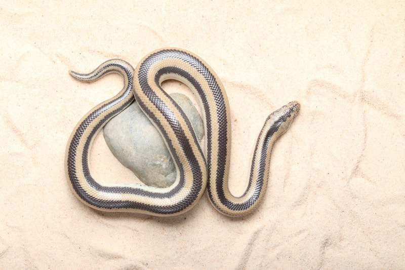 13 Cool Rosy Boa Morphs With Pictures