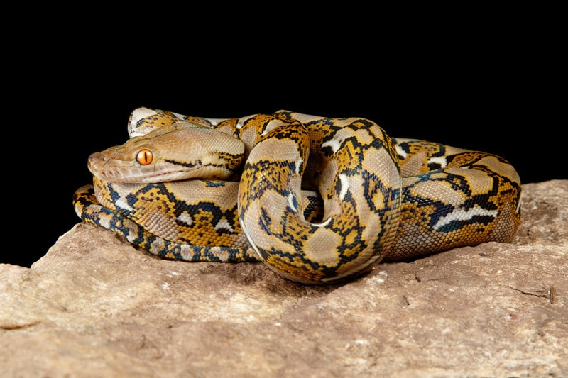 15 Cool Reticulated Python Morphs With Pictures