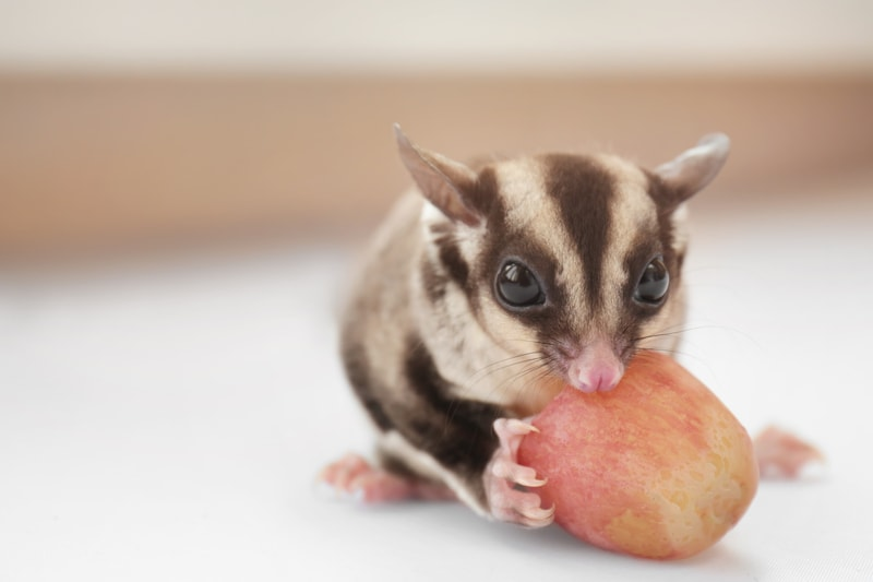 A Complete List of Foods Sugar Gliders Can Eat (And What They Shouldn't)