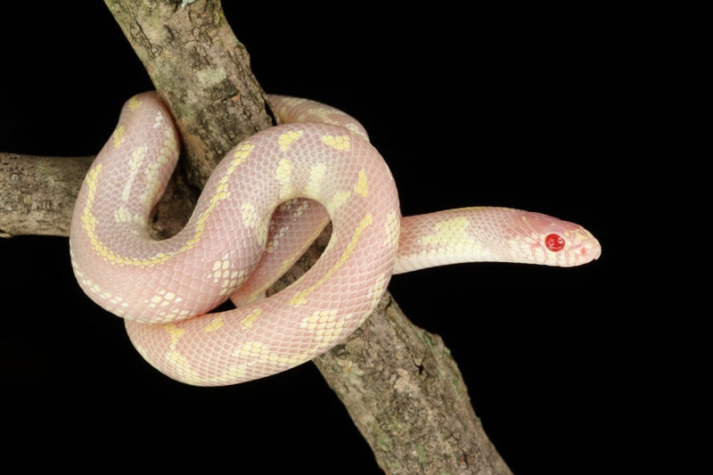 Albino California kingsnakes-Everything You Need to Know