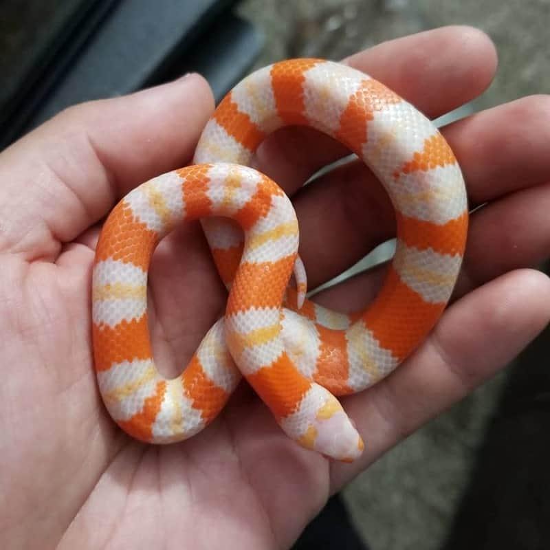 Albino Honduran milk snake