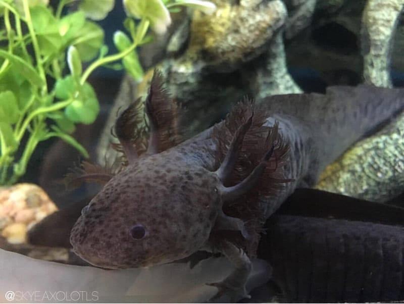 Axanthic Axolotl