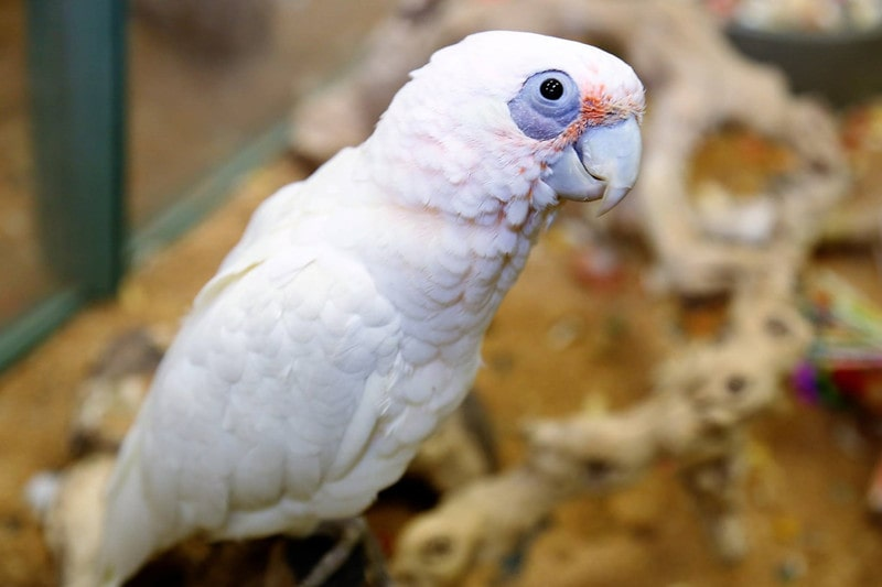 Bare-Eyed Cockatoo